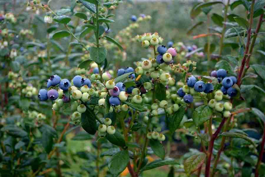 Blueberries Online- Buy Blueberies online- PlantNet