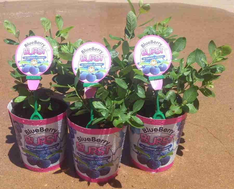 Blueberry Burst- Shop- PlantNet