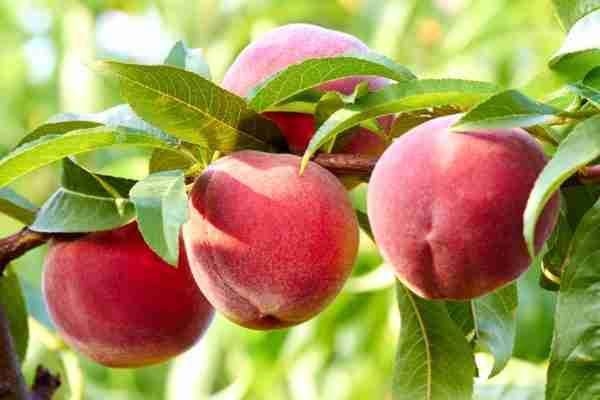 Dwarf Crimson Rocket peach tree-Buy fruit trees online- PlantNet