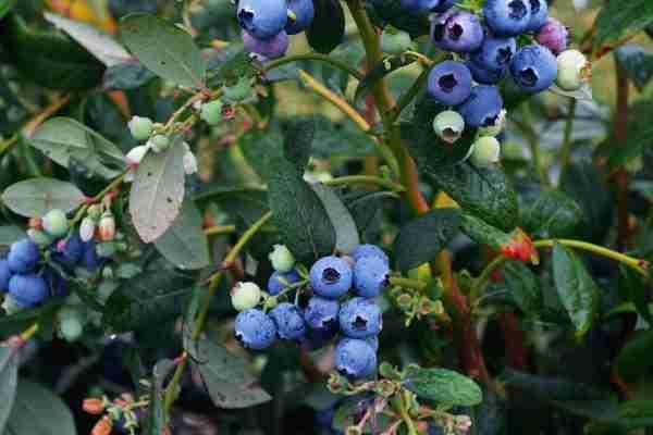 Blueberry Burst Online- Buy Blueberries online- PlantNet