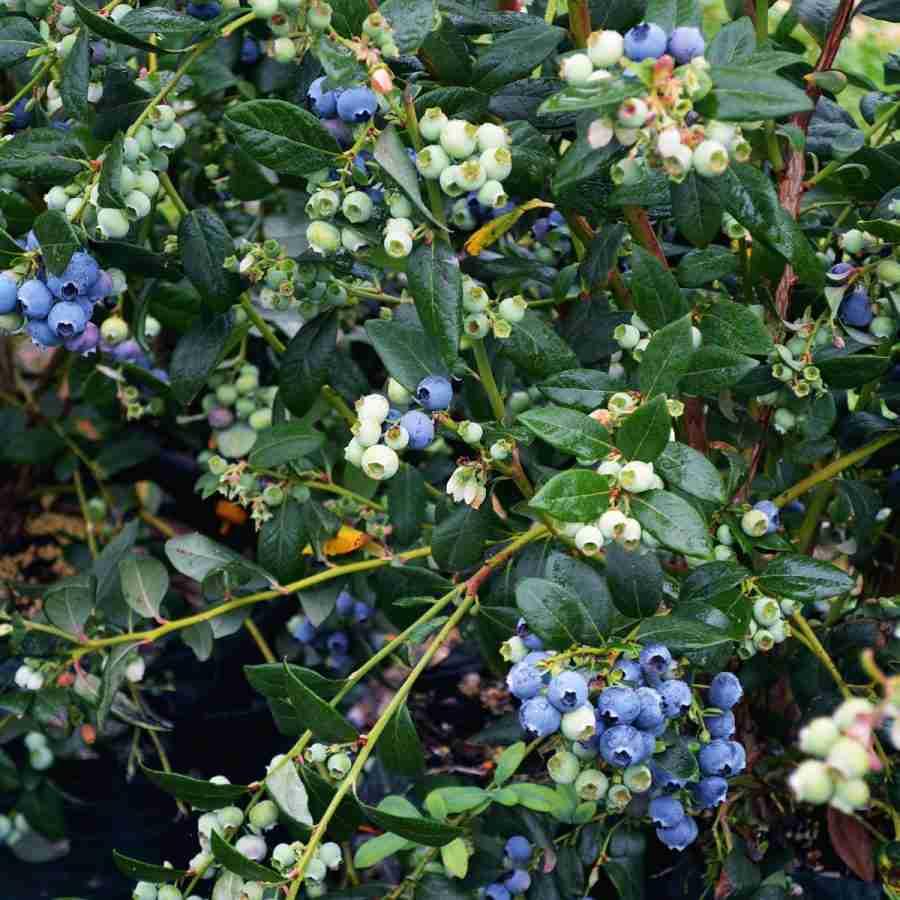 Blueberry Kisses Online- Buy Blueberries online- PlantNet