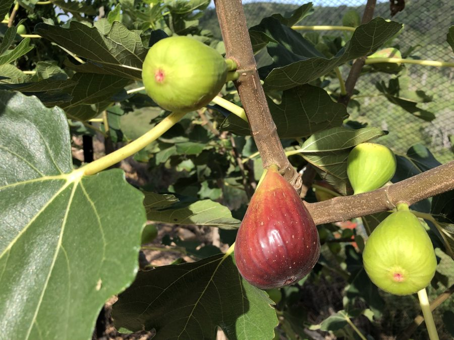 Fig- PlantNet