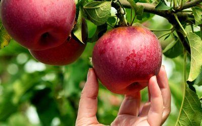 Fruit maturity guide