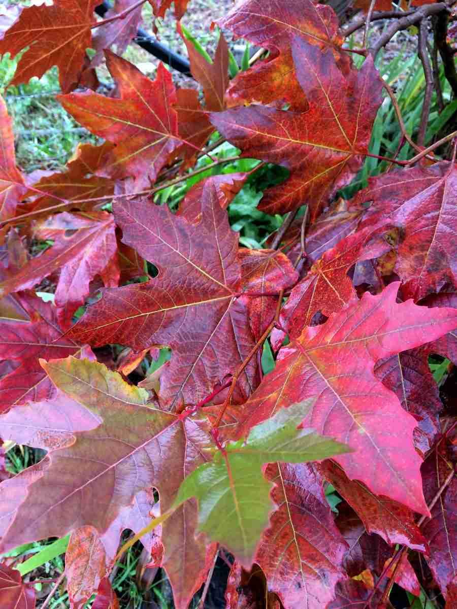 Alford Blaze tree - Platanus orientalis- ornamental- PlantNet