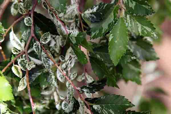 Green Mist- Ulmus parvifolia- Ornamentals
