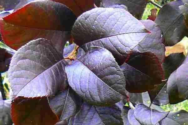 Purple Jewel foliage- Prunus virginiana- Ornamentals- PlantNet