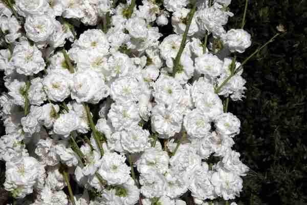 White Princess- Flowering Peach- PlantNet