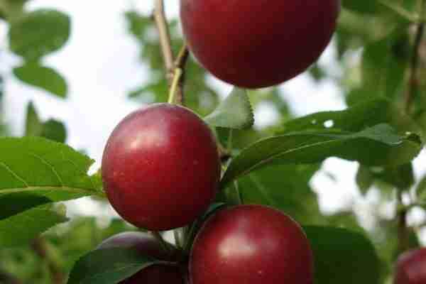 Sugar Plum fruit tree-Buy fruit trees online- PlantNet