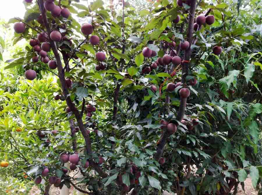 a-okay plum fruit tree variety