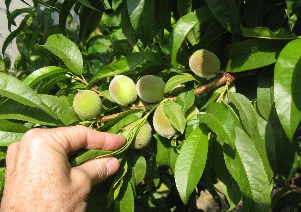 Flowering, fruit thinning and harvest of deciduous fruit trees
