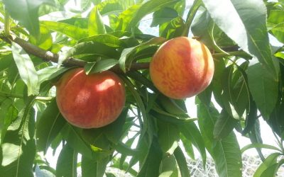 Growing low chill stone fruit in subtropical climates