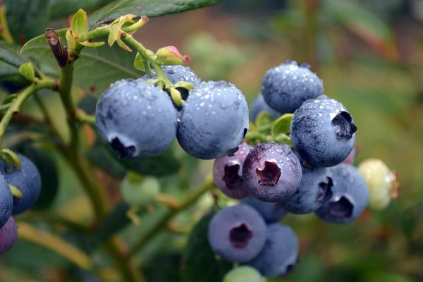 Blueberry fruit trees from PlantNet Australia - Buy Online or find a Retail Stockist