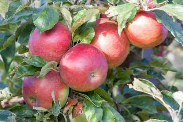 Cumulus Columnar Apple fruit tree from PlantNet