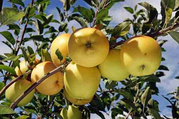 Super Dwarf Dorset Golden apple fruit tree from PlantNet