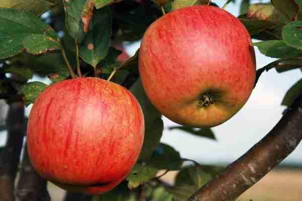 Super Dwarf Gala Apple fruit tree from PlantNet