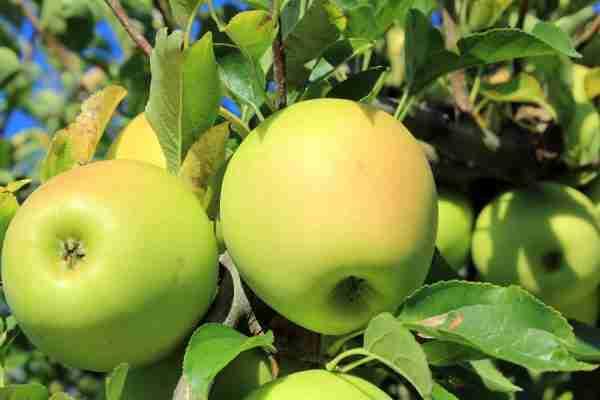 Super Dwarf Golden Delicious apple fruit tree from PlantNet