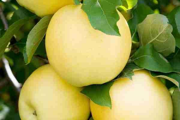 Columnar Apple Harmony- Buy online- PlantNet