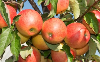 Growing deciduous fruit trees: apples, pears and stonefruit