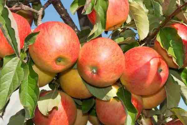 Herald Columnar Apple fruit tree from PlantNet- Buy online