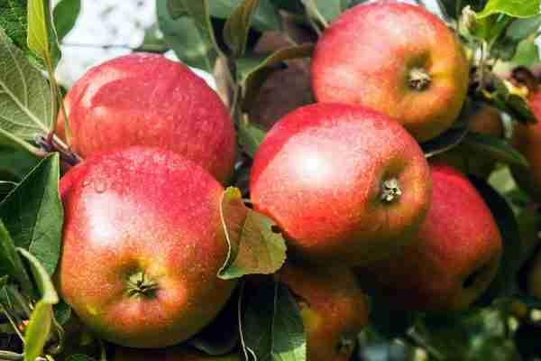 Super Dwarf Jonathon Apple fruit tree from PlantNet