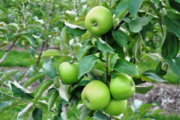 Leprechaun Apple fruit tree from PlantNet