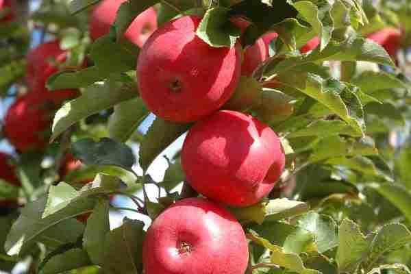 Pinkabelle Apple- Dwarf fruit tree- Buy online- PlantNet