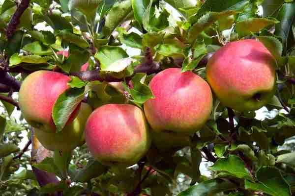 Pom Pink columnar apple- Buy online- PlantNet
