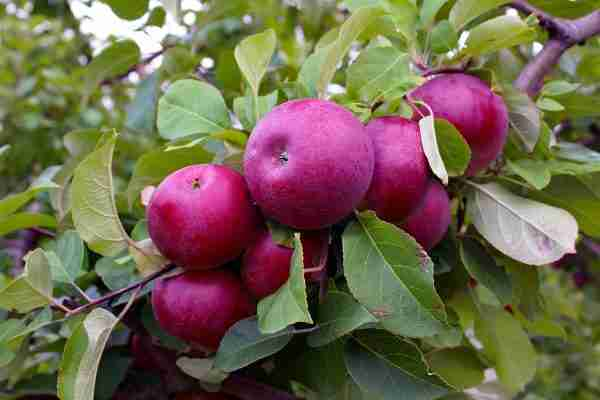 Red Delicious apple tree from PlantNet