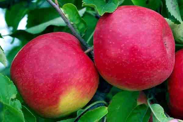 Dwarf Red Fuji Apple from PlantNet