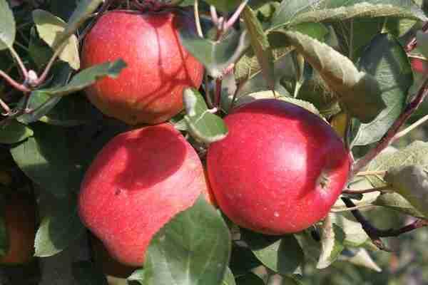 Super Dwarf Sundowner Apple fruit tree from PlantNet