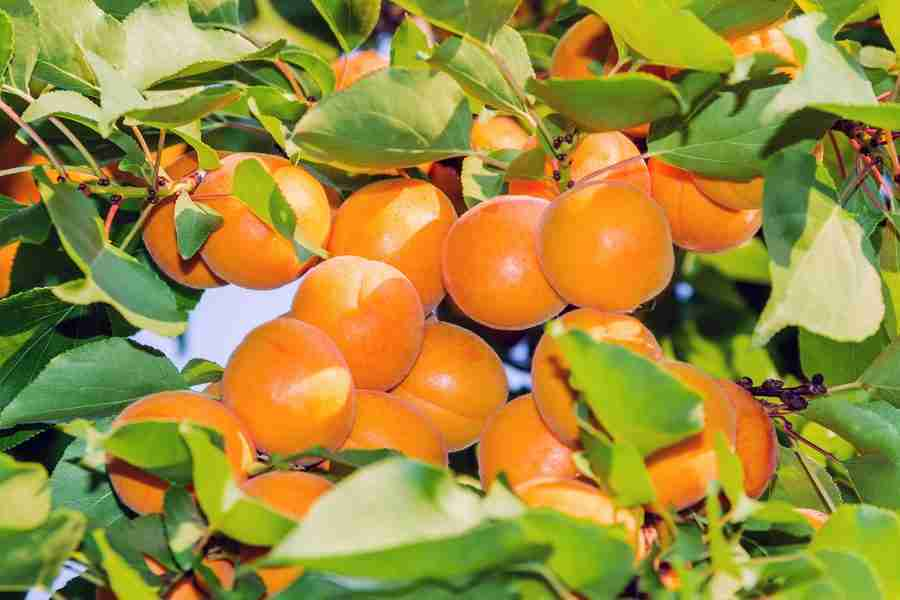 Apricot - Dwarf Divinity - Fruit trees from PlantNet