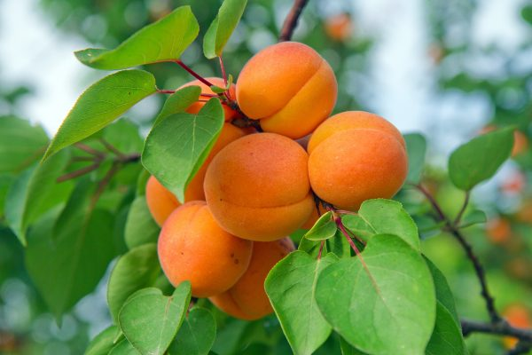 Apricot - Dwarf Fireball - Fruit trees from PlantNet