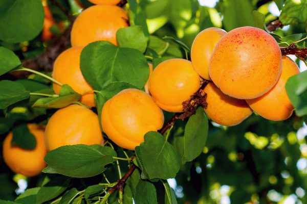 Apricot - Dwarf Storeys - Fruit trees from PlantNet