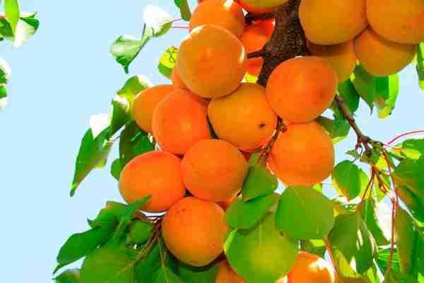 Apricot - Dwarf Tilton - Fruit trees from PlantNet