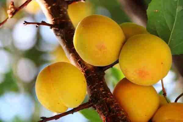 Apricot - Dwarf Trevatt - Fruit trees from PlantNet