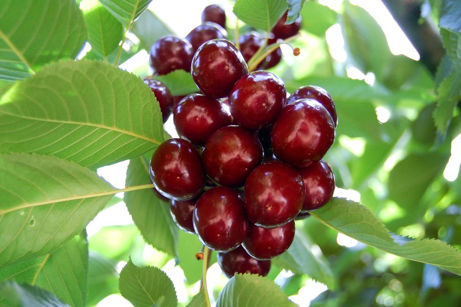 Cherry - Dwarf Lapins -Dwarf Fruit trees from PlantNet