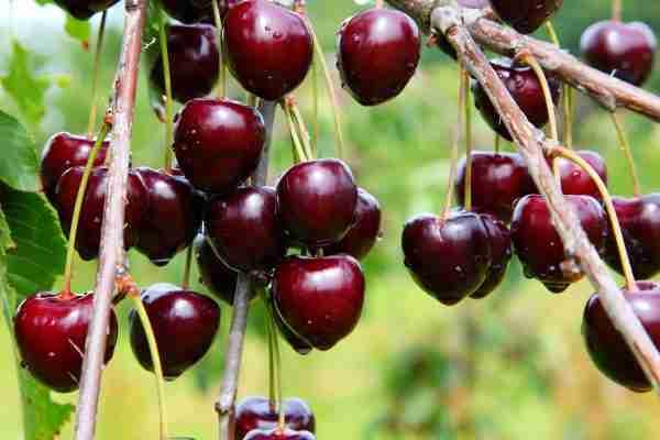 Cherry - Dwarf Sir Don - Dwarf Fruit trees from PlantNet