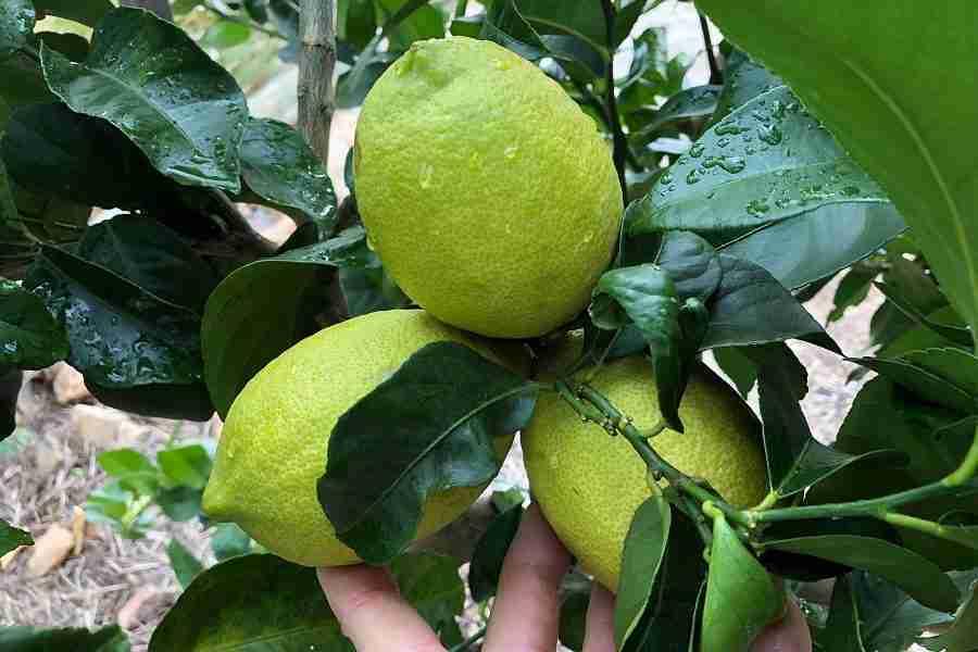 Lemon Heaven - Fruit trees from PlantNet