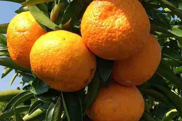 Maestro Mandarin - Citrus from PlantNet