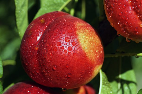 Dwarf Flavortop Nectarine fruit tree from PlantNet Australia