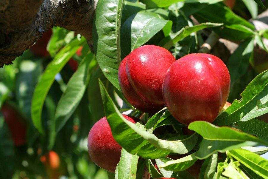 Dwarf Goldmine Nectarine tree- Buy online- PlantNet