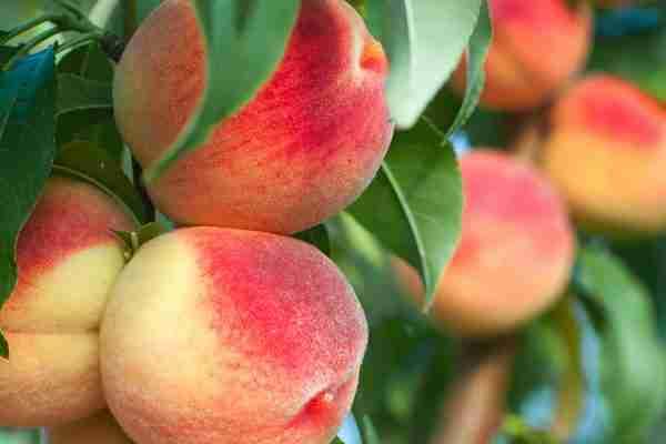 Dwarf Peacharine fruit tree from PlantNet