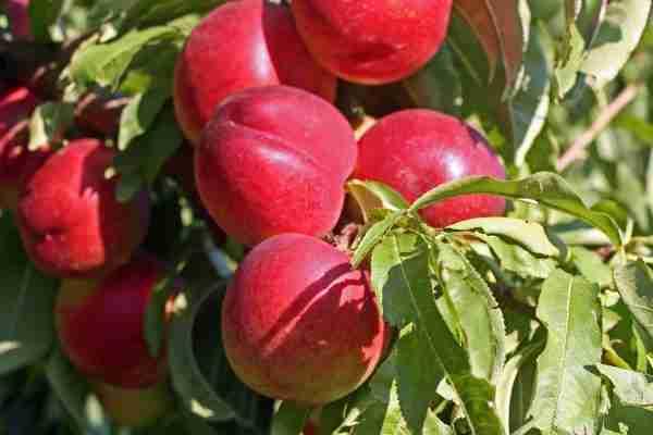Dwarf Royal Gem nectarine- Buy online from PlantNet
