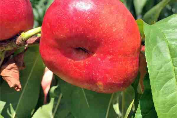 TangO's® flat nectarine- subtropical- Buy online