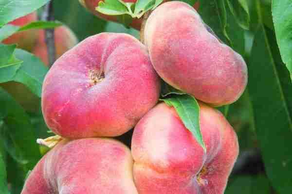 Dwarf Angel Peach fruit tree from PlantNet
