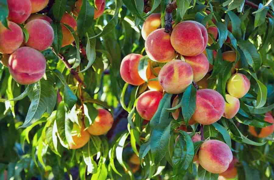 Dwarf Elberta Peach bare root fruit tree