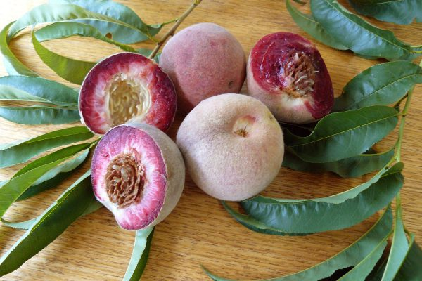 Dwarf Indian Peach - buy fruit trees online - PlantNet Australia