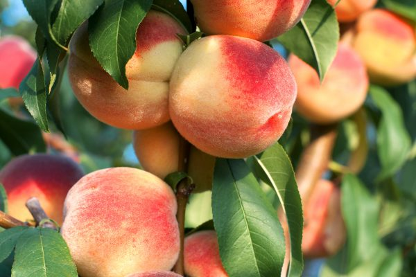 Dwarf White Gold Peach fruit tree - PlantNet- Buy online
