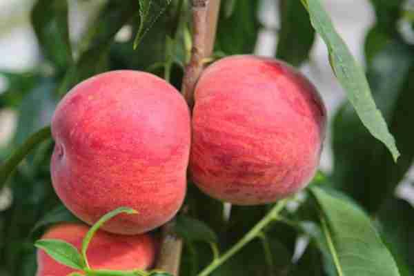 Early Beautypeach- subtropical peach - PlantNet