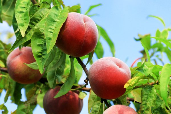 Dwarf Fresno Peach bare root fruit tree - Buy from PlantNet